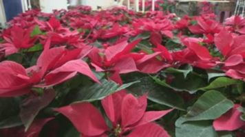 La flor de Nochebuena, s�mbolo de la Navidad mexicana